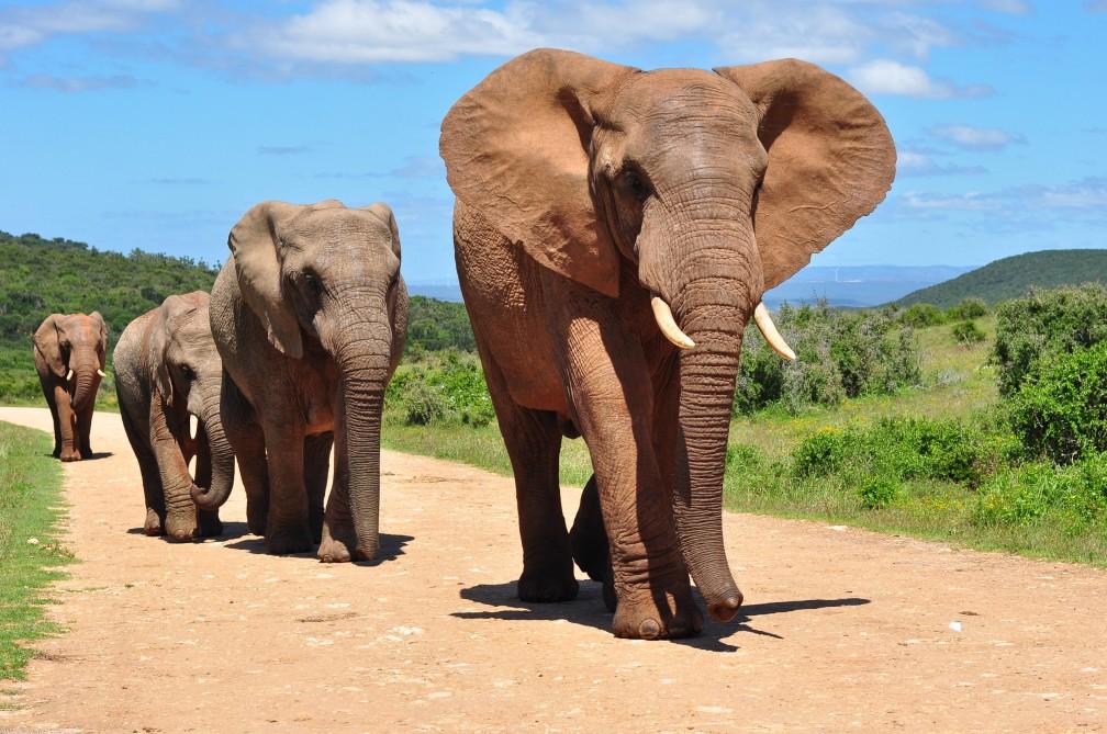 elefante-africano-235722367.jpg
